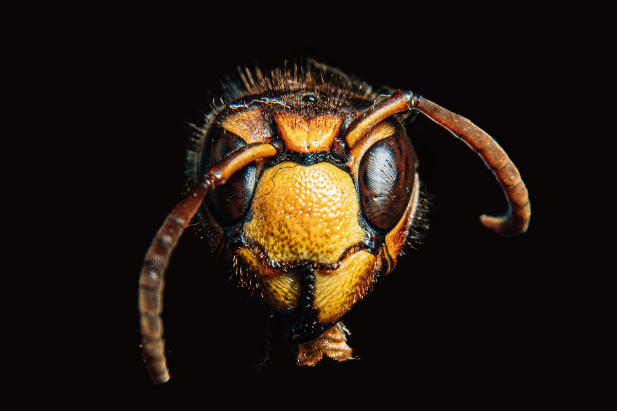 Asian hornets are spreading in North America.